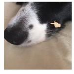 えっと どうでもいい事なんですが アリスにはこの剃り込みが、左右対称にあります(*☻-☻*) なんか好きです  #どうでもいいこと  #bordercollie #dog #bordercollies #ボーダーコリー #白黒 #happinesseast #同胎 #犬バカ部 #ilovemydog #多頭飼い #bluemerle  #ブルーマール #白黒  #犬バカ部 #ilovemydog