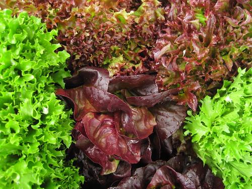 salanova lettuce