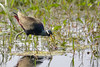 Bronze-winged Jacana (Metopidius indicus) Bharatpur, India 2015 by Ricardo Bitran