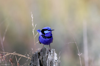 Splendid Fairy-wren | by gus.meredith