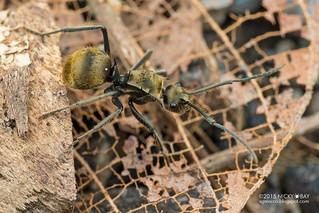 Ant (Polyrhachis sp.) - DSC_9280