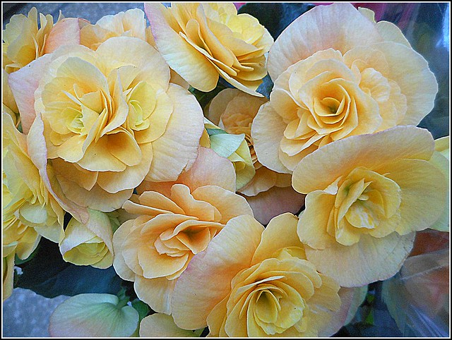 Cluster of Begonias ...