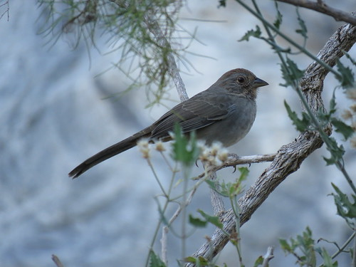 California Towhee | by La Paz Group