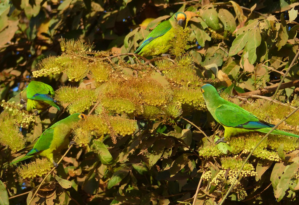 Peach-fronted Parakeets (Aratinga aurea) on Combretum flowers ...