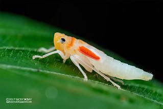 Leafhopper nymph (Cicadellini) - DSC_8494