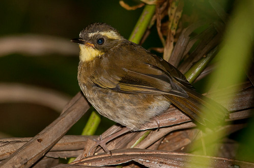 yellow-throated scrubwren (Sericornis citreogularis)-7573 | by rawshorty