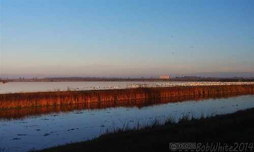 california autumn water field sunrise geese rice flock commute norcal marysville yubacounty mathewsricedryer