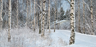 In the birches