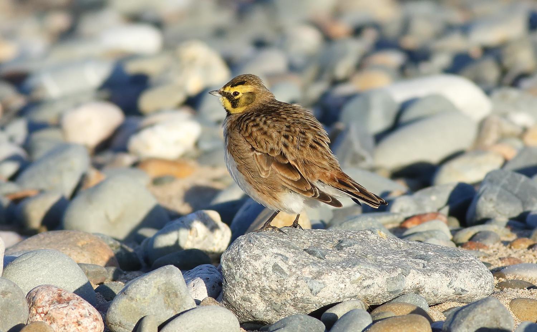 Shorelark [horned lark]