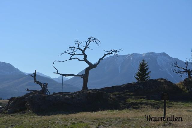 Burmis tree Alberta,