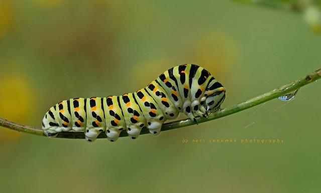 swallowtail upcoming