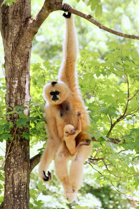 Nashville Zoo: new Gibbon Mother & Baby Male