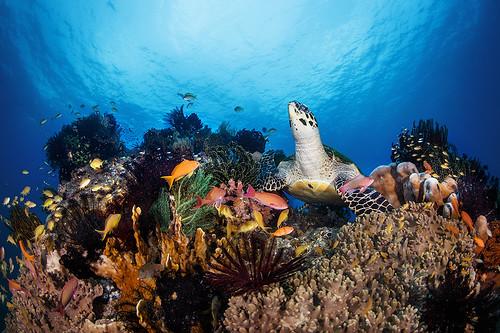 Turtle resting on Balicasag reef | by Luko GR