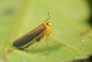 Leafhopper (Cicadellidae) - DSC_5809