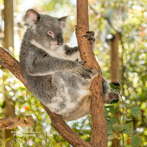 Koala Resting at the Koala Park Sanctuary, West Pennant Hills, Sydney, Australia by D200-PAUL