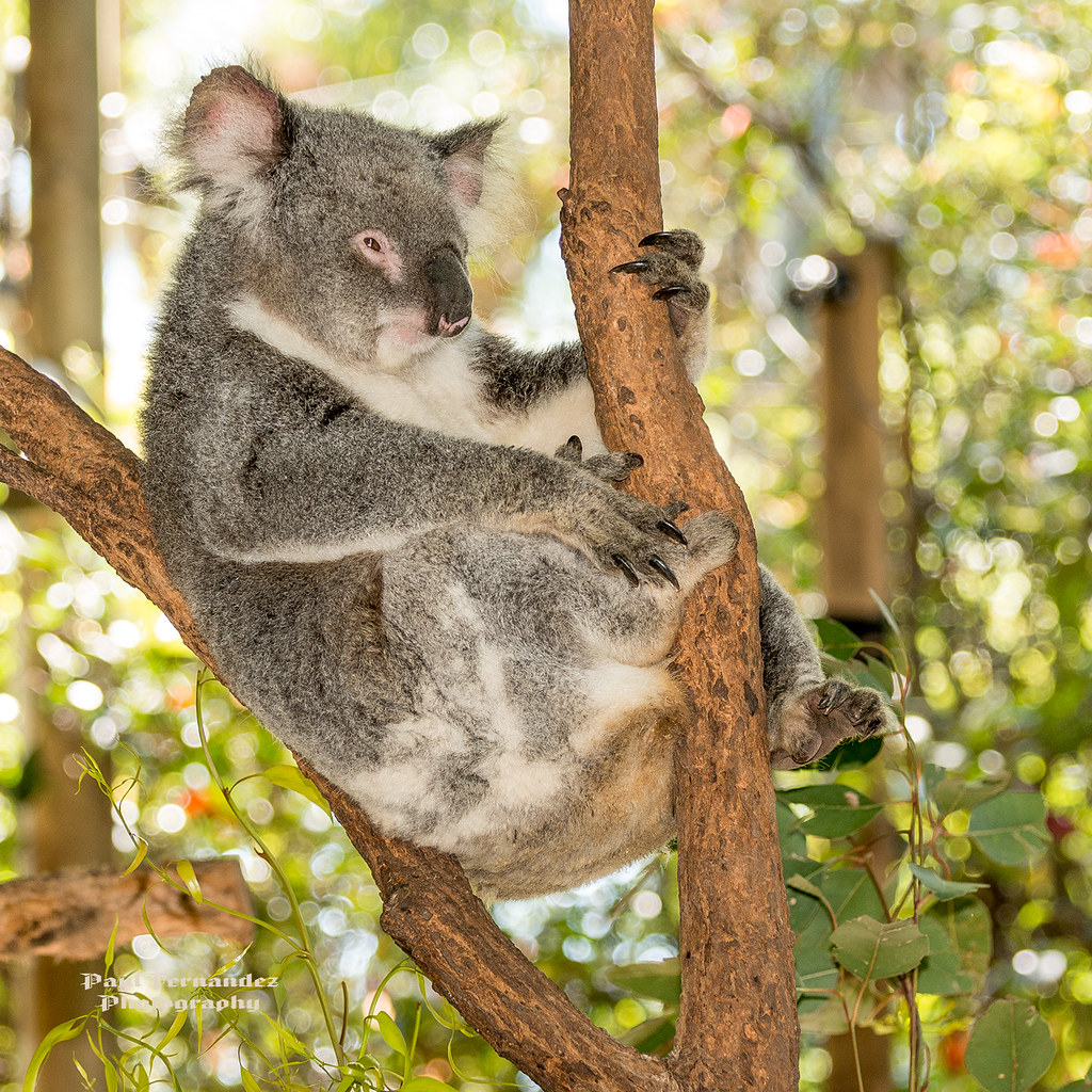 Koala Resting at the Koala Park Sanctuary, West Pennant Hills, Sydney, Australia by D200-PAUL