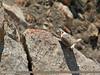 Himalayan Snowcock (Tetraogallus himalayensis) by gilgit2
