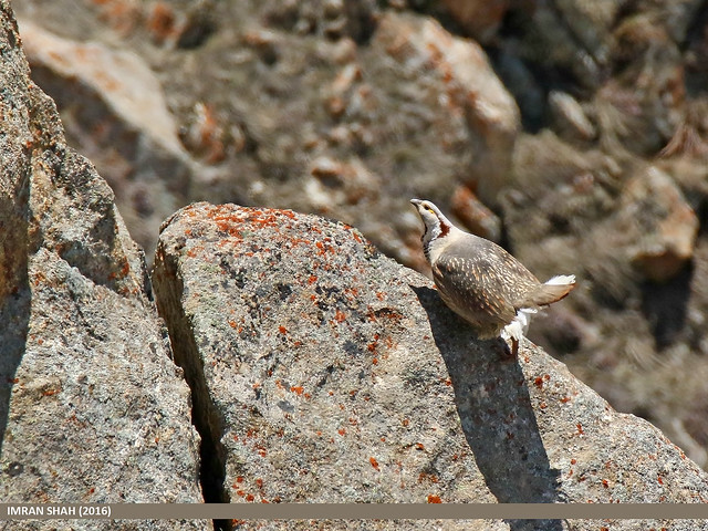 Himalayan Snowcock (Tetraogallus himalayensis)