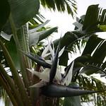 Giant bird of paradise ゴクラクチョウカ 東南植物楽園