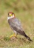 Red-necked falcon by Ramakrishnan R - my experiments with light