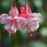 フクシア (釣浮き草) /Fuchsia hybrida
