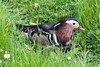 Mandarin Duck by quinet