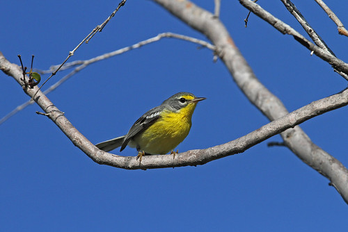 Adelaide´s Warbler, Bosque Seco de Guanica, Puerto Rico January 2016 | by Sterna999