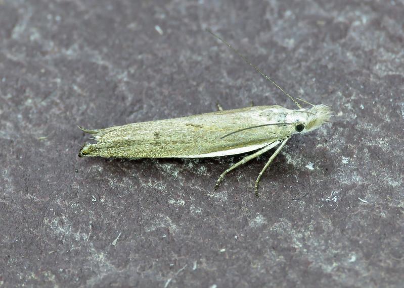 35.091 Sophronia semicostella