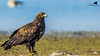 Greater Spotted Eagle-1398 by Rudy_Whistlingtrails