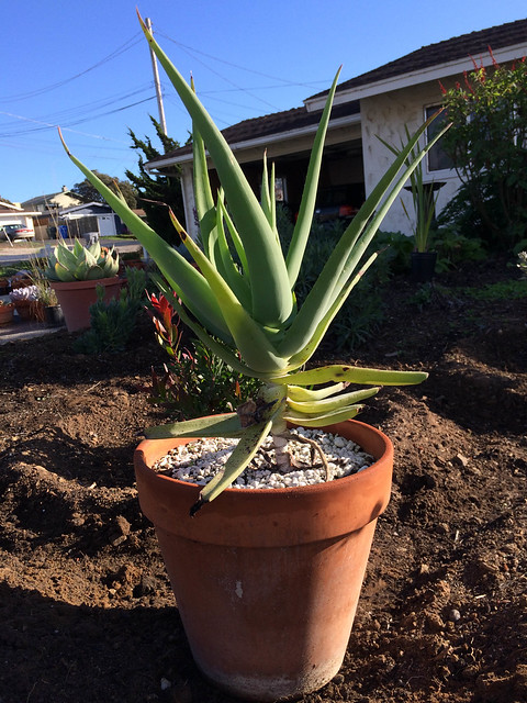 Aloe speciosa now ready to be planted in the garden