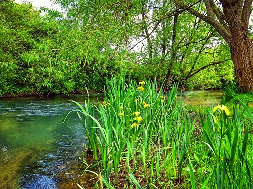 iris wild plant flower green nature yellow river landscape windrush
