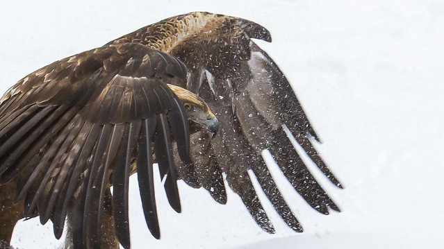 Golden Eagle photography in Kuusamo