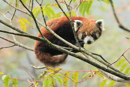 Red Panda | by mfmb_bentley