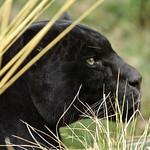 - Black Jaguar -