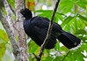 Blue-billed Curassow, Central Colombia by Allan Drewitt