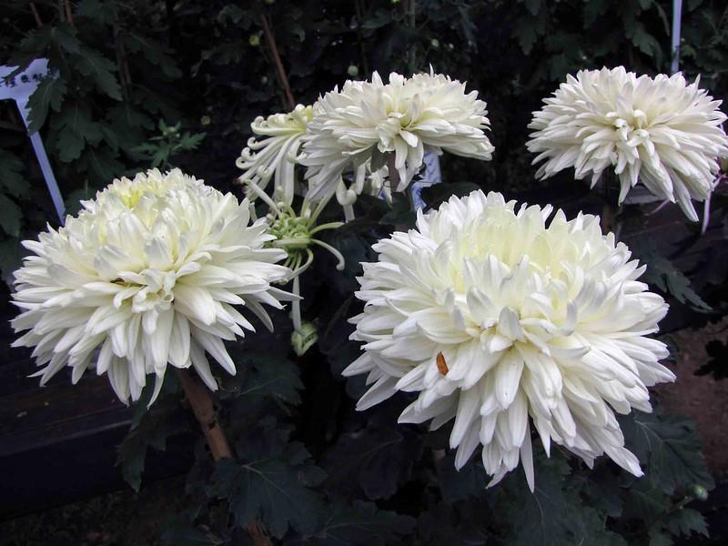 菊花-國華竹林  Chrysanthemum morifolium 'Bamboo Grove'  [深圳東湖公園  Shenzhen East Lake Park, China]