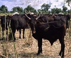 Ter, 20/01/2015 - 04:17 - Species name: Cattle (photo credit: ILRI).