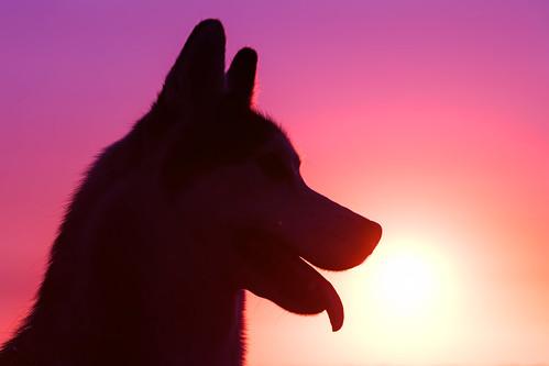 sunset sky dog pet pets sun dogs girl animal animals silhouette closeup female canon outside mammal outdoors husky pretty sundown canine domestic siberianhusky aurora tamron alaskanhusky domesticanimal 5ds canon5ds eos5ds tamron28300mmf3563divcpzd canoneos5ds
