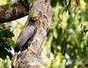 Slate-colored Hawk/Gavião-azul/Gavilán pizarroso (Buteogallus schistaceus) by Héctor Bottai