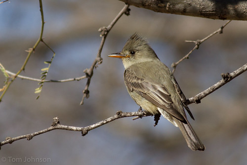 Greater Pewee - Arizona | by bonxie88