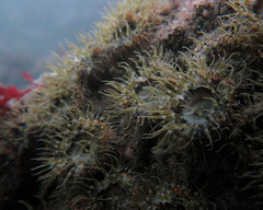 HolderElegant anemones. Credit: Dr Leigh Howarth