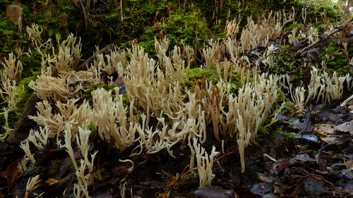 aotearoa newzealand newzealandwild nature newzealandnature wild newzealandphotography moss mossy mycology macro fungi closeup fungus clubfungus flora forest rainforest view stevereekiephotography newzealandgeographic nationalgeographic taylorville brunner clavulinaceae clavulina gomphaceae ramariopsis mushroom mushrooms newzealandfungi slimemold slimemolds greatnature newzealandnaturephotography stevereekie wildnewzealand wildaotearoa beauty beautiful stunning gorgeous newzealandfungus