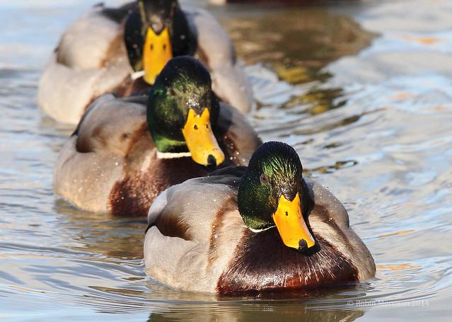 Duck Lineup