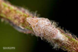 Planthopper nymph (Flatidae) - DSC_1786