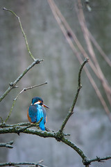 Kingfisher on a branch