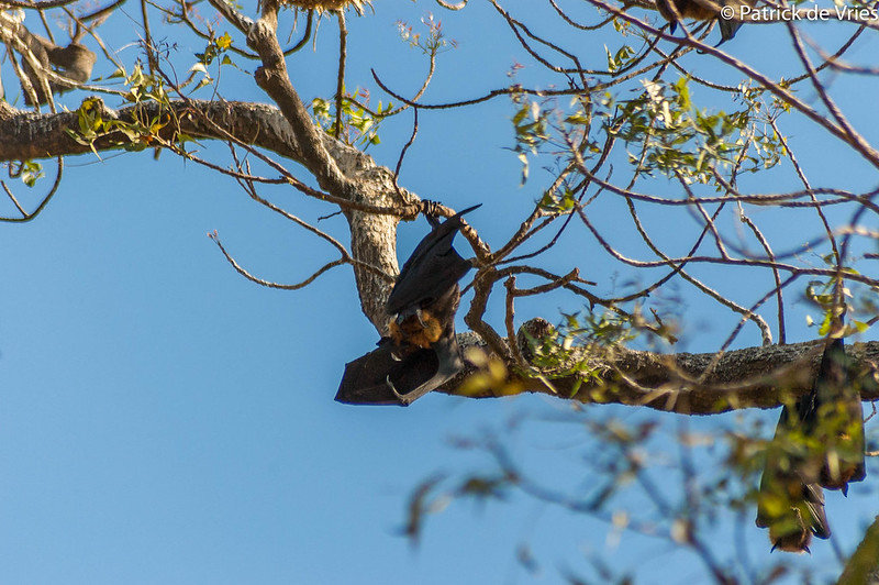 Bat yawning in the evening sun.