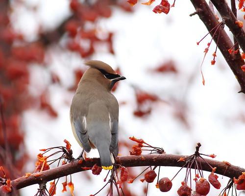 bird cedarwaxwing floweringcrabapple yakimacounty yakimaareaarboretum