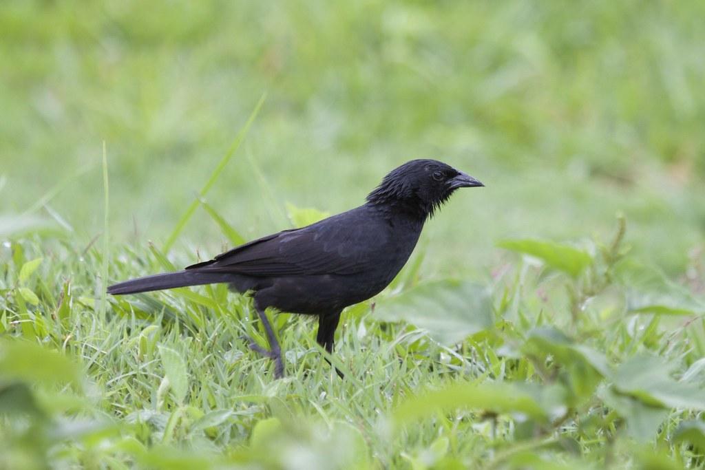 Chopi Blackbird (Gnorimopsar chopi)