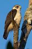 Short-tailed Hawk (Buteo brachyurus) - juvenile by Rodrigo Conte