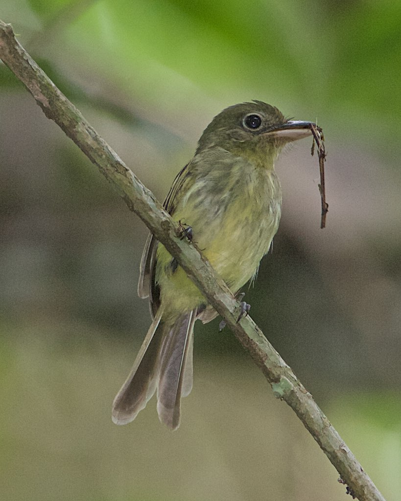 0856 Olivaceous Flatbill